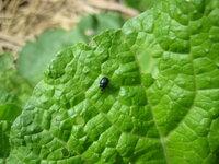 白菜、水菜、小松菜などに発生して葉っぱを食べつくす黒い虫(3~4㎜)は何という名前ですか? いったいどこからやってくるのでしょう。 どうすれば予防、駆除できますか?教えてください。