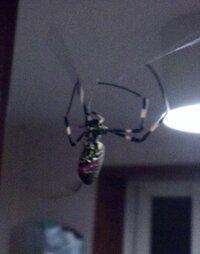 蜘蛛の種類に詳しい方へ 今朝トイレの入り口に蜘蛛が糸をはっていました。 お尻の一部分が赤いのですが毒性のある蜘蛛かどうかおわかりの方いらっしゃいませんか?