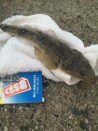 きのうサーフでキス釣りをしていたら釣れたこの魚、マゴチ?メゴチ? 大きさ20cm弱。