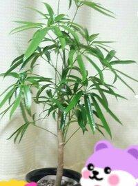 この写真の観葉植物について、名前や育て方など教えてください。  今は、週1でお水をあげて時々、日に当たる所に置いてます。 大きくなるなら植え替えた方がいいのでしょうか。  宜しくお 願い致します。