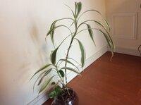 ポトスじゃないほうの植物の名前を教えてください。数年前、無印良品で購入したものです。