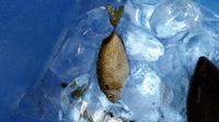 波止場で釣ったのですが。 この魚なんて魚かわかりますか??