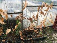 クヌギの苗木  年が明けてちょうど1月の1日に種をまいて一年になりました うちのクヌギは画像のように落葉しました。ですがまだ葉が落ちきっていない木もあります。葉の根元の部分からは蕾 のような小さな新...