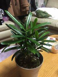 観葉植物の名前について。 閲覧ありがとうございます。観葉植物をもらったのですが、何の木なのかわかりません。どなたかご存知の方いらっしゃいましたら、ぜひ教えてください。