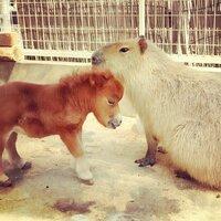 スエトシ牧場にいるミニチュアホース「そらまめ」は可愛いと思いますか。