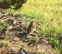 鳴く 鳥 と ホーホケキョ