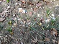クロッカスの花は1日で枯れますか? 秋に地植えしたクロッカスが、昨日綺麗に咲きました。黄色、紫、クリーム色と少なくとも4つ咲いていましたが今日の午後見たら花が全部無くなっています。1 日で散ってしまうのでしょうか。水遣りすべきだったのでしょうか。 冬の間楽しみにしていたのにとても残念です。