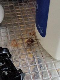 ハイイロゴケグモですか?  こんにちは。これはハイイロゴケグモでしょうか?