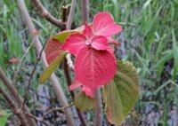 アカメガシワの木は、乾燥させたらストーブの薪に使えますか?