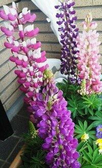 プランターの茎の細長いこの花の名前をおしえてください。