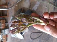 今うちの裏にある山を散歩していたらタラの芽らしき物が生えていたのでとりあえず一つだけ取ってきたのですが、これはタラの芽で合ってますか? これが生えてた木?には刺がありました!
