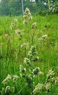 草むらのこのイネ科っぽい植物の名前をおしえてください。
