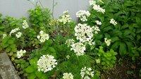 庭の花壇に1株だけ咲いています。植えたのかどうかは分かりません。 ニンジンのような葉で白い花を次々に咲かせます。