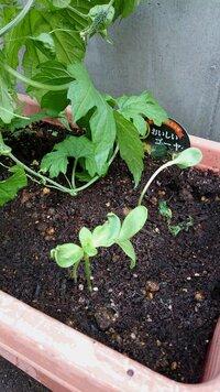 この植物わかりますか? ゴールデンウィークにホームセンターで培養土とゴーヤの苗を買って、プランター栽培はじめました。毎年やっているので、いつも通りに苗付けをしたのですが、ゴーヤの横からしっかりした双葉が3つほど出てきました。 多分、培養土か苗についていた土にまぎれこんでいた何かの種が発芽したんだと思いますが、一体、何がでてきているので知りたいのですが、おわかりになる方がいらっしましたらお願い...