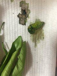 アゲハの幼虫について  青虫が蛹になる前にする下痢?のようなものをして、ケース内をよじ登り、丸みを帯びて蛹風になってきた矢先に、画像の様な状態になってしまいました。 体液が大量に出 てます。落ちたからでしょうか?それとも病気ですか? アゲハ蝶の幼虫を採取して3年程たちますが、今年は幼齢で死んでしまう子が多いです。 みかんの木に原因があるのでしょうか? ちなみに毎年同じみかんの木で...