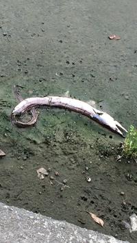 近くの田んぼ?で何故か魚が死んでました汗  不気味におもい、写真を撮りました。 この魚の名前わかる方お願いします(ー ー;)
