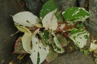 斑入りイタドリ(タデ科)の地植えはやめたほうが良いですか? 盆栽で斑入りイタドリを数鉢もらったのですが 少し地植えにしてみようかと思っています しかしイタドリで調べるとがやっかいだと書いてあります(雑草扱い?) 盆栽にいている斑入りのイタドリはどうでしょうか  よろしくお願いいたします