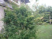庭の紅葉が添付写真の様に枝が伸びています、剪定要領を教えて下さい。