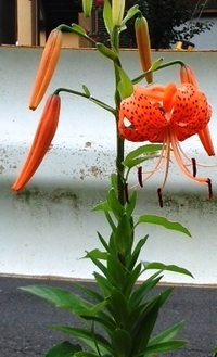 ガードレールの歩道側の舗装道路に咲くこの花の名前をおしえてください。