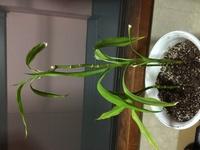 観葉植物ドラセナを復活させる方法を教えてください。  ドラセナの茎が細くしぼみ、根も枯れてしまっています。  そろそろ植え替え時期だとおもい、根をみてびっくりしたのですが、以前の植 え替えのときは白く太かった根がオレンジになっていました。  まだ上は一応生きているようにはみえますが、葉は枯れたり色あせたりと全体的に悪くなってしまっています。  さいきん忙しかったため、水やりを...