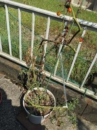 ミニトマトが下の方から枯れていってるのですが、枯れるのを止める方法はありませんか?高さは1メートルくらいです。思い当たる原因は、化成肥料を与えすぎたことか、セメントの上に鉢を直に置 いていたことだと...