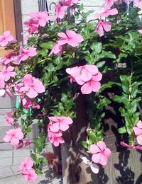 一株のお花を満開に咲かせている方、お願いします。 毎年の失敗。 日日草の ※茎が茶色になり葉がかれてくる。 (直15㎝の釣り鉢に一株植えている10鉢位あり)  ※茎が茶色になり枯れはじめる。 ※満開に咲かない。  茎が茶色になっていない時は、花は咲いているが、満開にならない。チラホラ咲。 土は新しい花の土だけに植えた(何もあらたに肥料をまぜていない) 雨にはなるべく当たらな...