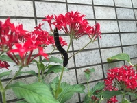 あおむし イモムシ 幼虫 蛾 蝶 さなぎ   この時期に、このようなイモムシのような幼虫が花を食べにくるのですが、何者ですか。この秋の時期に栄養を取って、いつ成虫になるのでしょうか。 季節外れのように思う...