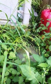 小さな穂を付けるイネ科らしきこの雑草の名前をおしえてください。