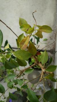 フィカスナナの葉が枯れて落ちてしまうのですが…。 特に、置場所等は変えていませんが、最近葉が枯れて落ちてしまいます。  室内に置いています。 1ヶ月くらい前に アンプル型の肥料を与えました。  回復させる...