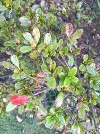 霧島ツツジの葉に赤い斑点ができており、元気がありません。 葉の裏に、黒い汚れ等はありません。 今年の6月に植えました。 原因と対処法を教えて下さい。