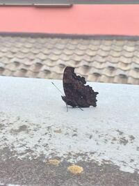 この黒い蝶はなんという蝶でしょうか?