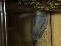 セキセイインコの雛をかいました。 眠り方と鼓動が早いのが気になるのですが、雛はこれが普通なのでしょうか?