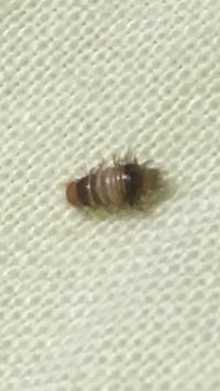 部屋のベッドにこんな虫がよくいるのですが、こいつはなんの虫ですかね?悪い虫ですか?