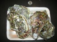 牡蠣を飼育したいです ですが、食用牡蠣は寄生虫?なのか 写真のように殻が汚いです  どこで綺麗な殻の牡蠣を手に入れられますか?    海水魚の飼育方法は分かりますが 貝類は飼育した事はありません  餌も分かりません  教えてください