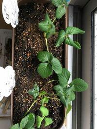 イチゴ苗について プランター定植後2週間目の苗ですが新芽が写真のように萎れます。何かの病気でしょうか?