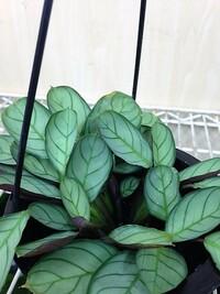 観葉植物の名前が知りたいです。よろしくお願いします。その3。