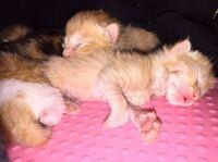 生後5日目の子猫のミルク粉と水はどのくらいでしょうか? 1日分ではなく3時間置きに与える時の量でお願いします! サラサラのミルクが通常ですが?ドロドロが普通ですか? それと子猫達の一回の飲む通常の量はどのくらいでしょうか? 2cc?4cc? 子猫達の中でも4cc飲む子や2cc飲む子など様々いるのですが、2ccは少し少なすぎる事はありますか?