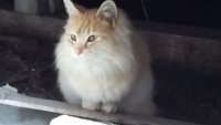 野良猫について 最近住み着いた猫で、野良猫のわりに毛並みが豪華でしっぽが太い猫です。品種があったりするでしょうか?長毛種を調べてもぱっとこないので質問しました。