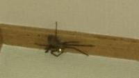 クモ(蜘蛛)の名前 深夜見つけたのですが、脚を含めると全長6㎝くらい。胴体は濃いグレーで丸っこい感じです。  あまりに大きくてびっくりしました。 毒グモではありませんか?