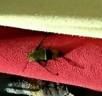 洗濯物についてるこの虫は、くまばちでしょうか? ご存知の方教えて下さい。よろしくお願いします。