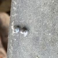 玄関の前にたくさんこんな虫がいます! 何の虫かわかりますか?気持ち悪いです