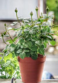 鉢バラの肥料不足?過多? 判断する方法は有りますか?  鉢バラを育てはじめて5年ほどです。 大きな失敗は無くなりましたが、肥料の量が多かったのか少なかったかについては全く判断が付きません。  植え替え時に鉢底付近に元肥を、芽が動き出した時、1番花を切り落とした後、および初秋に何れも規定量の緩効性化成肥料を追肥をしています。