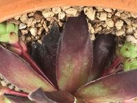 多肉植物初心者です。 3週間程前に買ってきたセンペルビウムの下の葉の先端が3日前ぐらいから萎れて?ました。 どのような状態か教えて下さい。  買ってきてすぐブリキ鉢に植え替えたのです が根はちゃんと新しく出てきていました。 根を見る際にブリキ鉢から素焼き鉢に変えました。  天気のいい日はちゃんと日光浴させてます。  一番調子のいい子だと思っていたので心配です、よろしくお願い...