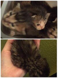 今度新入り猫さんとして我が家に来る予定の猫ちゃんです! 知り合いが拾ったそうです。 オスで鍵尻尾です( ˙꒳ ˙)  先住猫は茶トラの女の子で7ヶ月です。 すごい人懐っこくて初めて家に来た人でもたまにそばに寄...