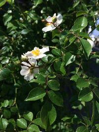 この植物は何でしょうか? 写真のように、直径2センチ程の花が咲きました。 茎にはバラのようなトゲがあります。 背丈よりも少し低いくらいの潅木です。