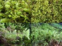 苔の種類を教えて下さい。02  最近、苔にハマっていまして  広島の山にハイキングに出かけた時に苔をみてみたのですが、  種類が分からないので、分かる方がいらっしゃいましたら教えて下さい。 黄緑色で...