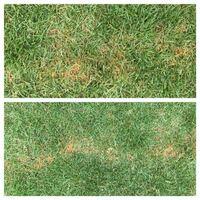 姫高麗芝2年目です。 部分的に芝生が茶色?黄色?に変色しています。 写真は直線状ですが、他1箇所に子供の握りこぶし程度の大きさで発生しています。 症状発生の1週間前に所々、蜘蛛の巣状の菌糸が発生していた為、 オーソサイド水和剤を500倍にて全面散布しております。 又、今年新たに芝生を植えた場所の土中には小さな幼虫が平米あたり5匹は見つかりました。  写真上段は症状の拡大、下段は全体です。 以...