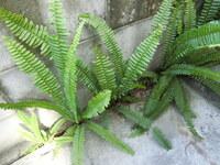雑草で困っています。この植物はなんという植物でしょうか? 自宅わきの側溝にビッシリ生えていて 地下茎? を伸ばしコンクリートの割れ目から突き出してきました。 抹殺したいのですが ラウンドアップでイケま...