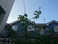 バラのシュートについて  ルイーズ・オディエをトレリスに添わせて育てています。  問題は、春の開花前後の事なのですが、シュートが伸びまくってジャングルのようになるのです。  開花後 、来年不要であろう枝を1/3ほど切り落とし、新しいシュートは真っ直ぐにして結んで置くのですが、トレリス上部に添わせた枝から、150cm~200cmの枝が出てしまい、支える事さえできません。(上部からい...