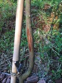 ミモザの木(1.8m)の幹が割れてきました。 植えてから約一年の木です。 その他に目立つ問題はございません。  お詳しい方、アドバイスをお願いします。